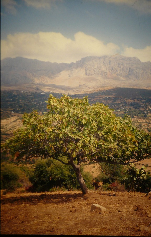 Feigenbaum vor dem Rif.